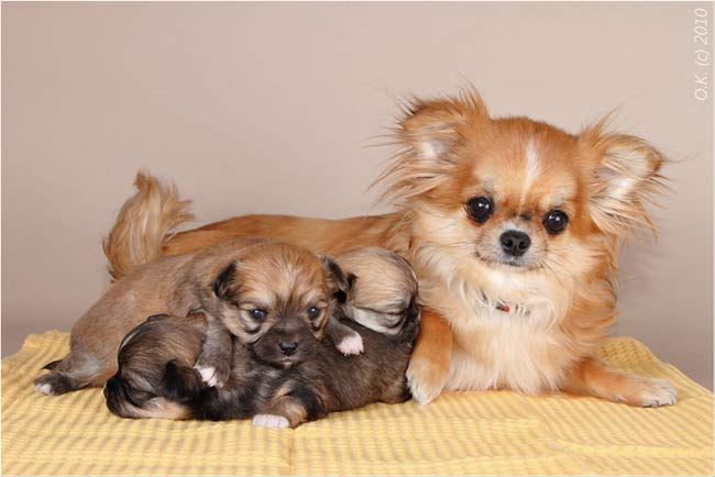 Щенки чихуахуа: http://paradigma-dog.ru/chihya/puppy_03_03_10.htm