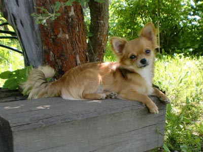 Щенки чихуахуа: http://www.paradigma-dog.ru/chihya/puppy_07_10_12.htm