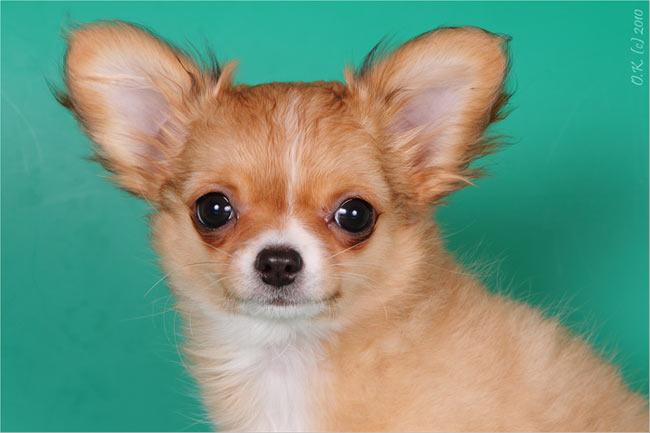 Щенки чихуахуа: http://www.paradigma-dog.ru/chihya/puppy_20_07_10.htm