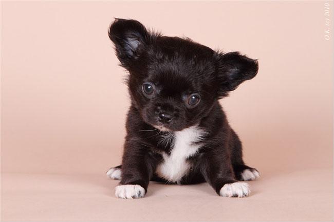 черные чихуахуа щенки фото