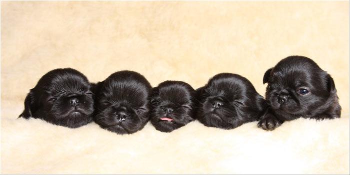 щенки гриффона фото